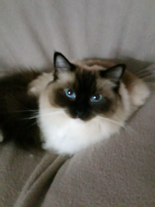 Ragdoll Cat Jindalee Wanneroo Area Preview