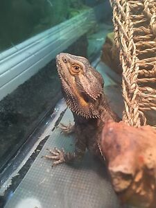 Male bearded dragon and everything you need