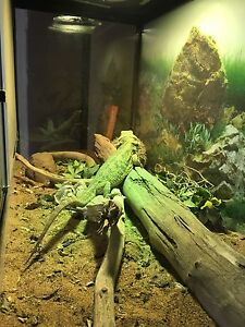 Bearded dragon with cage