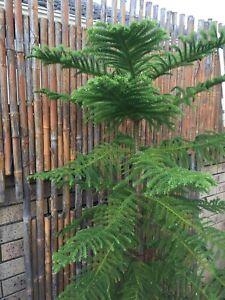 REDUCED Norfolk Island Pine - Araucaria heterophylla
