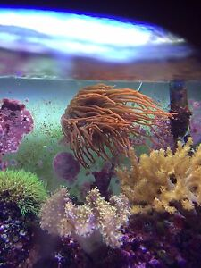 Coral for sale anemone and Kenya trees