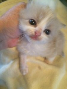 RAGDOLL KITTENS MINK PEDIGREE PAPERED