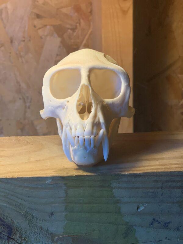Real Male Vervet Monkey Skull Taxidermy Oddity Curiosity Natural  Primate