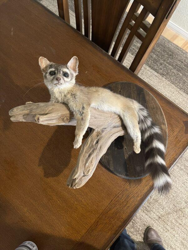 Ringtail Cat Hanging Mount