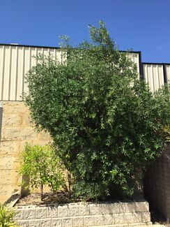 Trees, Shrubs, Plants and bushes for free. Clarkson Wanneroo Area Preview