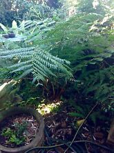 FREE TREE FERNS & BIRD OF PARADISE Burwood Burwood Area Preview