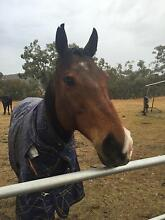 13year old TB Gelding Allora Southern Downs Preview