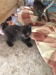 Kittens for sale Raymond Terrace Port Stephens Area Preview
