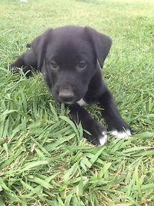 Are You Looking for a Loyal Companion? Border Collie x Kelpie Ipswich City Preview