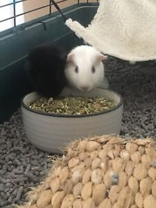 2 x Male Guinea pig with Cage