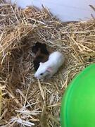 Baby guinea pigs Chidlow Mundaring Area Preview