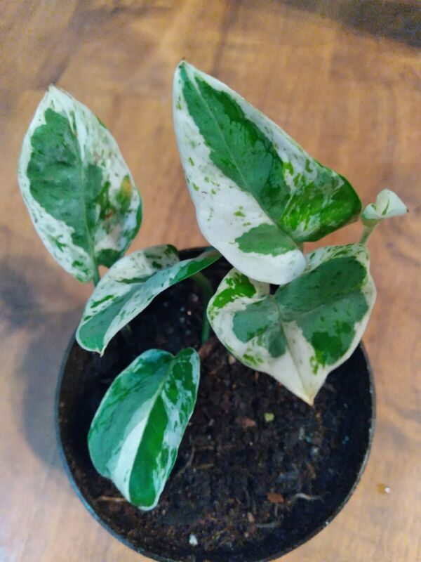 """Pearl and Jade Pothos, Rooted Houseplant, 3.5"""" pot. Ship with soil without pot."""
