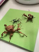 Spiny Leaf Stick Insects for Sale!! Wantirna South Knox Area Preview
