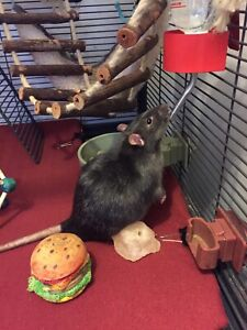 Looking to Rehome my 4 male rats
