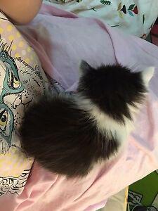 Kitten for sale Runcorn Brisbane South West Preview