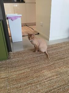CAT FOR ADOPTION Lilyfield Leichhardt Area Preview