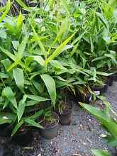 Tiger Grass!! 500-600 mm tall $5!!! Springwood Logan Area Preview