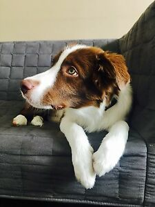 [URGENT] Border Collie puppy (3 Month) for new home in Melbourne Melbourne CBD Melbourne City Preview
