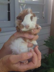 Cutest boy guinea pig Palmyra Melville Area Preview