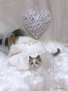 Gorgeous TICA Registered Male Ragdoll Kitten!!