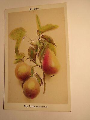 Birne - Pyrus communis - Pflanze / CDV