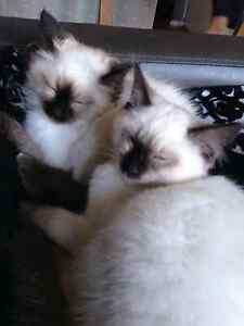 SEALPOINT RAGDOLL KITTENS Hillcrest Port Adelaide Area Preview