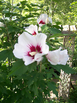 Rose Of Sharon Plants 12 To 24 Inches 2 To 3 Year Olds
