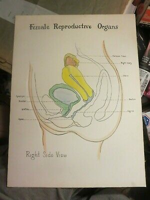 Vintage Female Reproductive System Anatomical Chart Side View On Board 20 X 15
