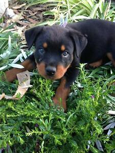 Rottweiler Pups For Sale Rockhampton Rockhampton City Preview