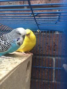 Breeding budgies with cage Dandenong Greater Dandenong Preview
