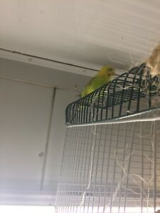 Budgies for rehoming