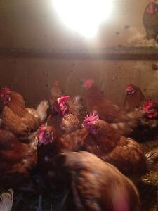 Laying hens off to market