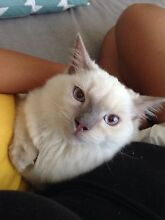 Male Ragdoll Kitten (Lilac Point) - incredibly loving cat Pyrmont Inner Sydney Preview