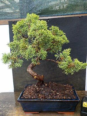 bonsai ginepro itoigawa 48 cm visita il negozio