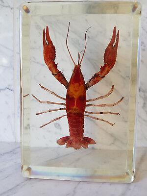 Echter Hummer / Lobster Präparat in Kunstharz (T-LOB-010)