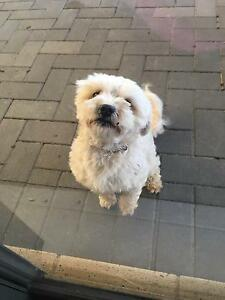Shitztzu toy poddle free to a good home Alkimos Wanneroo Area Preview
