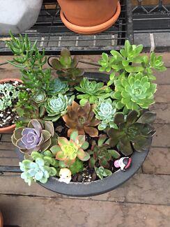 Beautiful succulents arrangement with pot 30cm