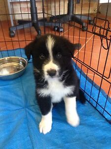 6 purebred border collies Atwell Cockburn Area Preview