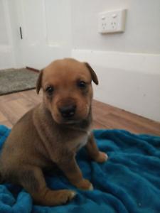 Cute Puppies Cheltenham Charles Sturt Area Preview