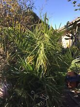 Palm Trees for Sale Dandenong Greater Dandenong Preview