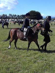 Pure welsh sect A mare, 13yo Mount Hicks Waratah Area Preview