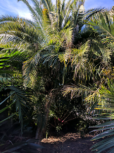 Sri Lankan Date Palm (clumping) Moorooka Brisbane South West Preview