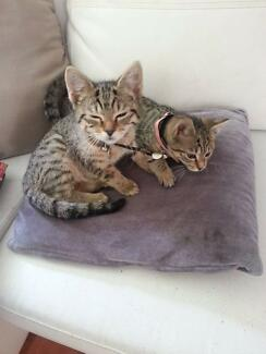 Twin Girl Kittens Ellalong Cessnock Area Preview