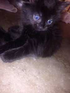 Kitten for FREE Bray Park Pine Rivers Area Preview