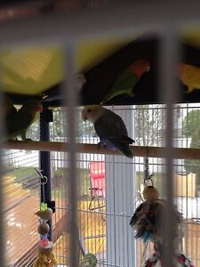 Oiseau inseparable