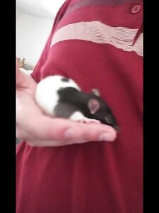 Baby and adult male rats