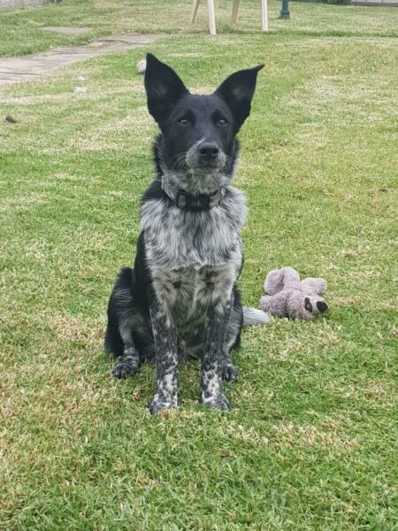 1 year old blue heeler x border collie | Dogs & Puppies