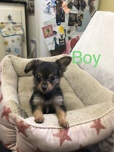 Male chihuahua/Pomeranian cross puppy for sale