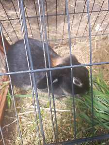 Rex Rabbit for sale Bridgewater Adelaide Hills Preview