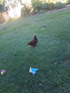 Chickens and chicken cop